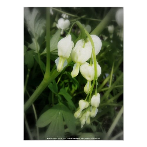 white bleeding hearts, focal black and white print