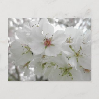 Cherry Blossoms Post Card by S.Lynnette
