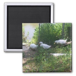 White Ducks on a Ramp Magnet magnet
