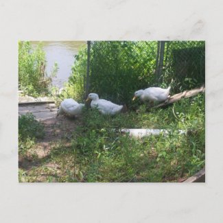 White Ducks on a Ramp Postcard postcard