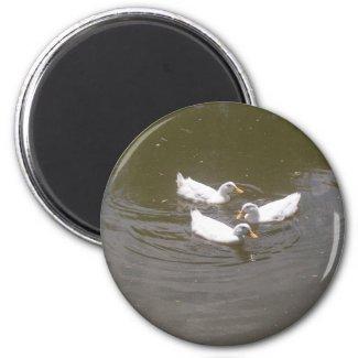 White Ducks Swimming Magnet magnet