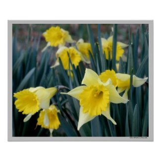 Yellow Daffodils Poster Print by S.Lynnette