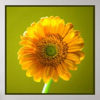 Yellow Daisy Gerbra Print print