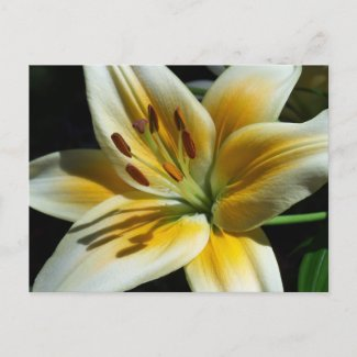 Yellow Lily Postcard postcard