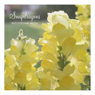 Yellow Snapdragons in the Sun (labeled)