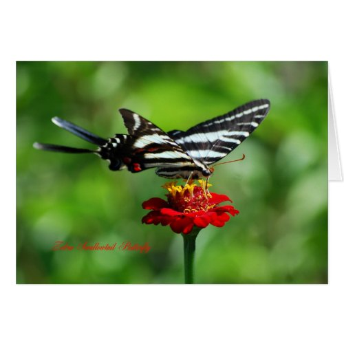 Zebra Swallowtail Butterfly card