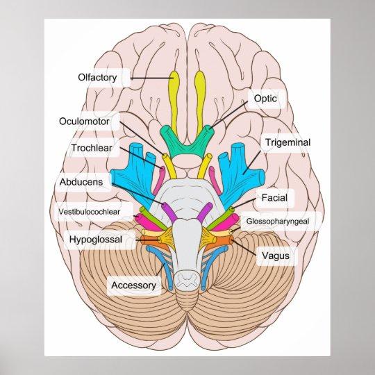 unlabeled skull diagram inferior view caterpillar vr6 wiring vista de nervios craneales en el cerebro póster | zazzle