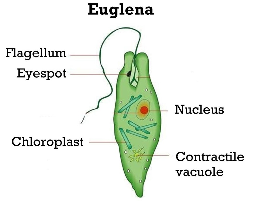 euglena cell diagram with labels 2002 toyota sequoia parts opinions on unicellular organism