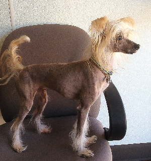 Chinese Crested Rocky