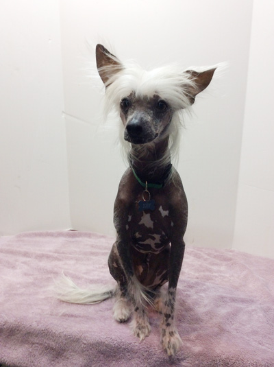 Chinese Crested Snow
