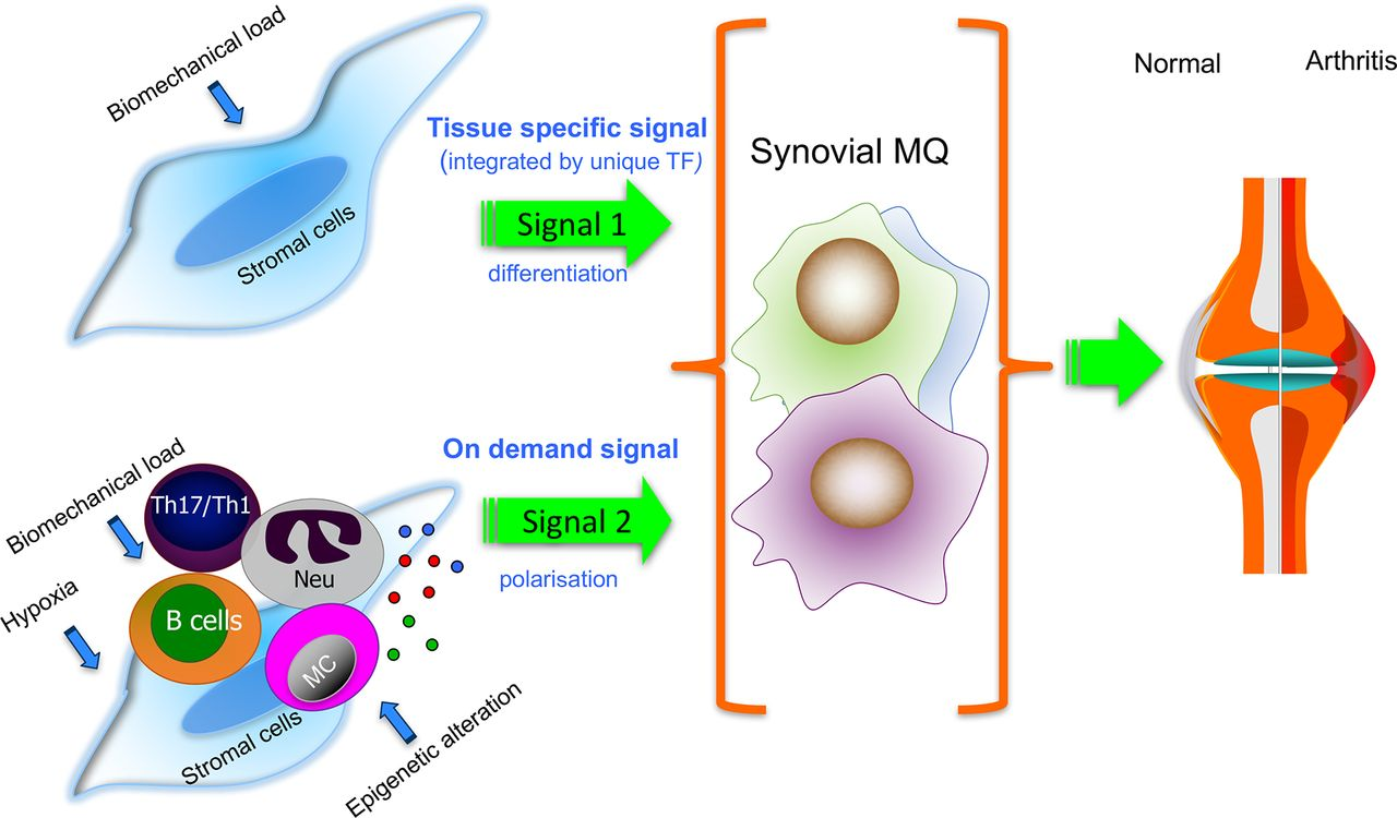 Synovial Tissue Macrophages Friend Or Foe? RMD Open