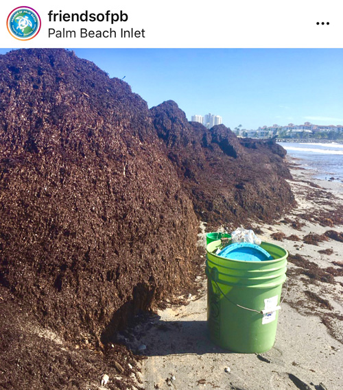 Seaweed Palm Beach Inlet – Courtesy of Friends of Palm Beach. R. Michael Brown Multimedia Producer