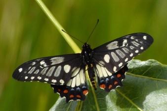 Papilla anactus - photo: John Kirk