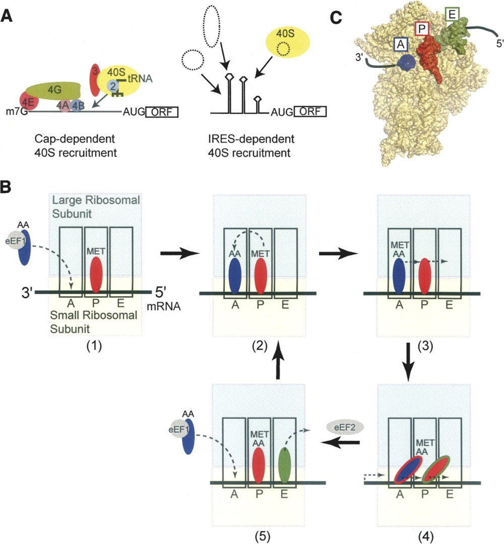 medium resolution of rna structure based ribosome recruitment lessons from the dicistroviridae intergenic region ireses