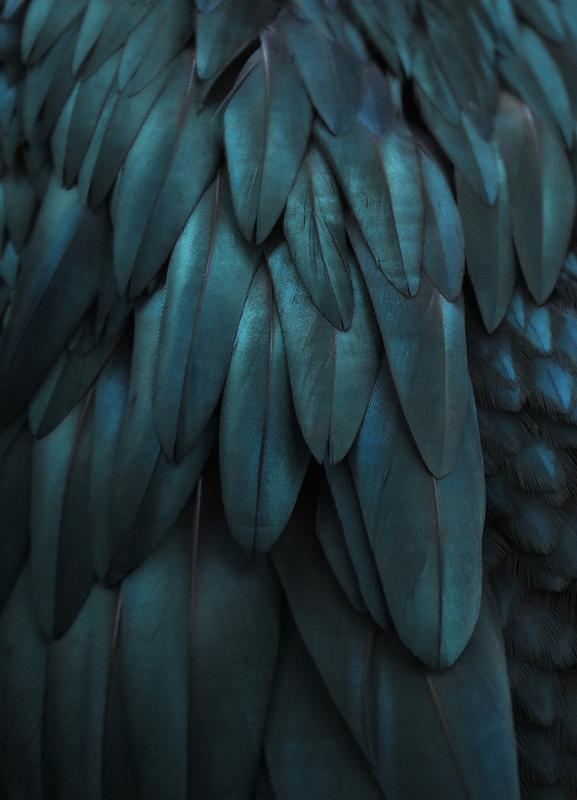 Dark Feathers als Leinwandbild von Monika Strigel  JUNIQE