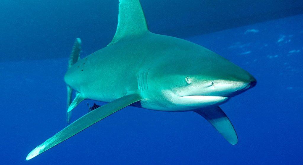 tiburon-oceanico