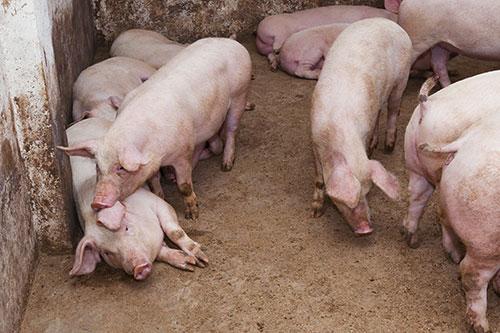 16-8-12-1-influenza-porcina-en-latinoamerica-el-sitio-porcino-shutterstock_134356637