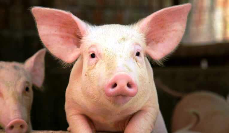 cerdos-4-765x445