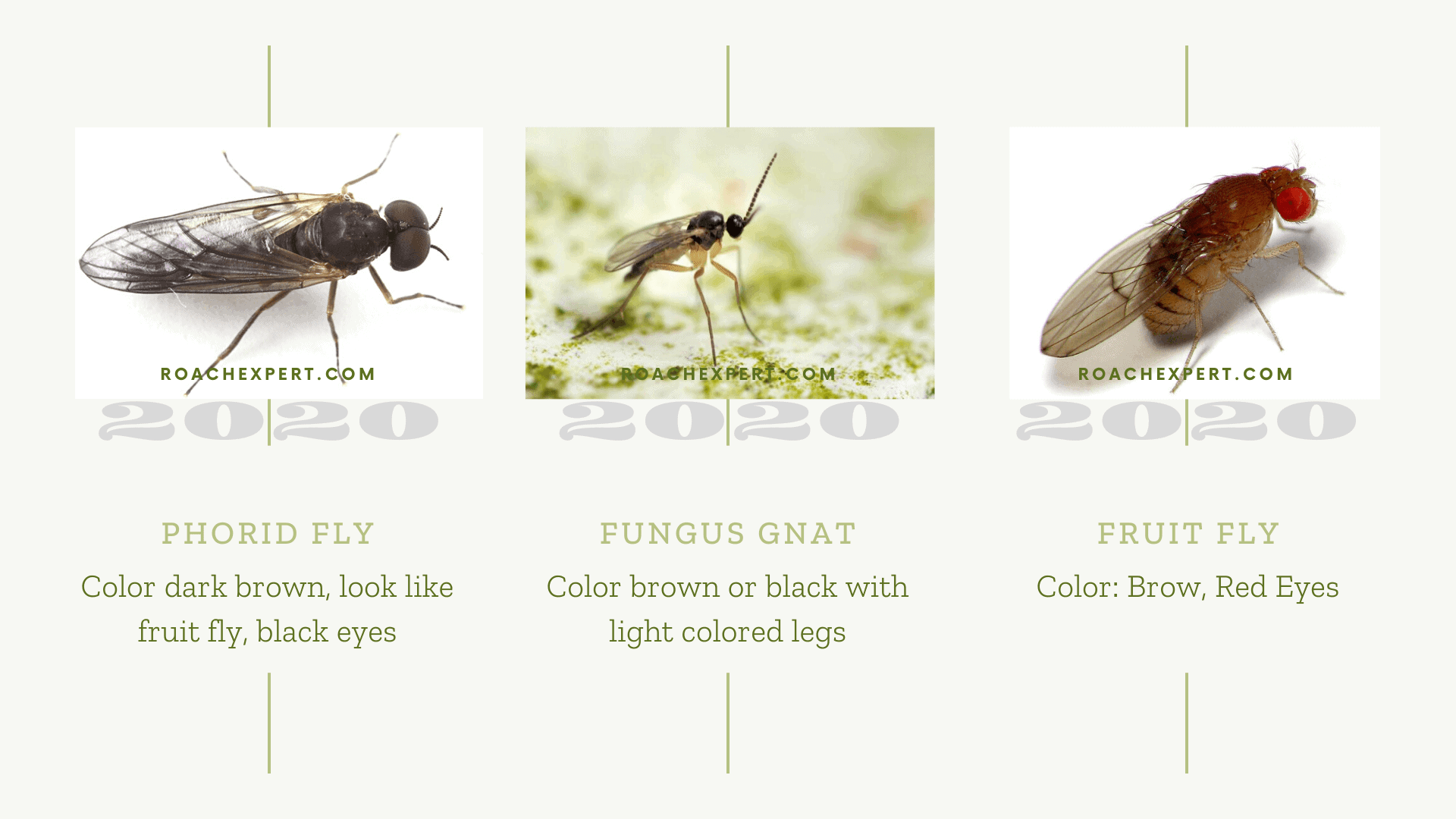 How to ID Gnats: fungus gnat, fruit fly and phorid fly