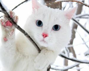 winter-cats-blue-eyes-animals-snow-white-1280x1024-wallpaper_www.wallpaperhi.com_48
