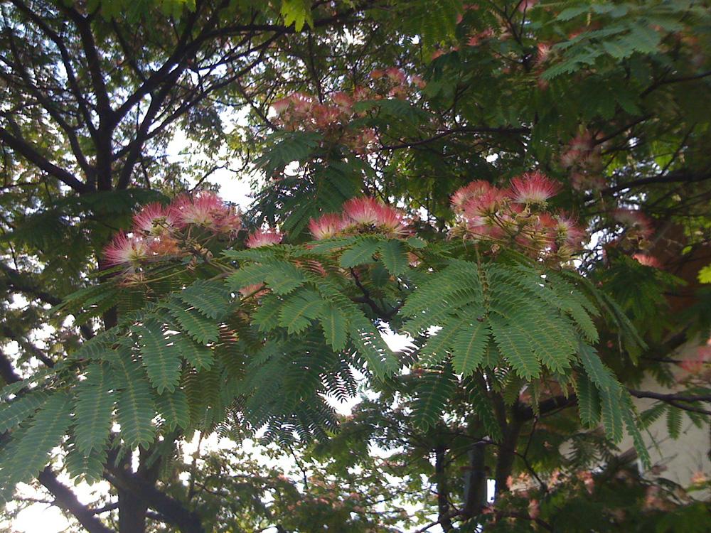 Seidenakazie oder Seidenrosenbaum (Albizia julibrissin)