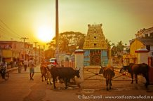 The sun sets as the cows gather around a local street-side temple in Chennai, India.