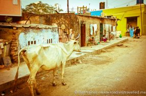 A cow meanders down a local street. Chennai, India