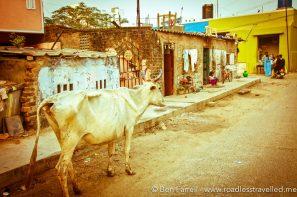 A cow meanders down a local street. Chennai, India