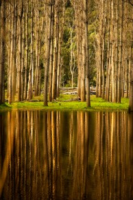 The symetrical forest reflected in a still mirror-like lake. Wiseman's Ferry, Australia