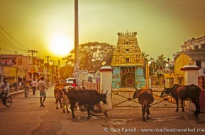 Cows meander around a local temple in Chennai, India