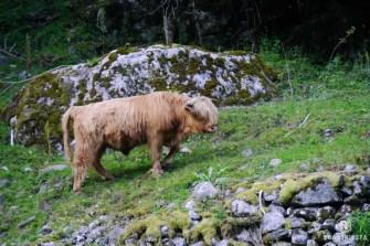 Norwegen Kuh