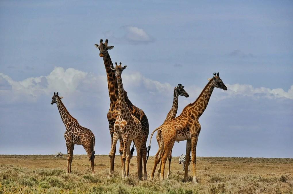 Giraffen, Tansania