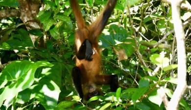 Affe in Tortuguero