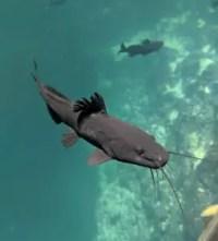 Agua Dulce Cenote, Fische