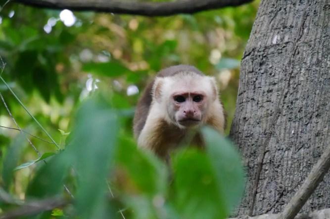 Affe im Tayrona Nationalpark