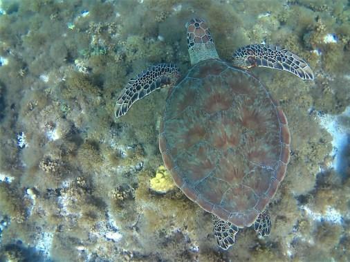 Wasserschildkröte auf Providencia, Schnorcheln