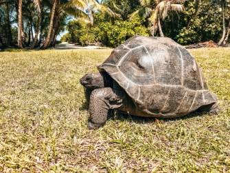 Riesenschildkröte auf Big Sister Island