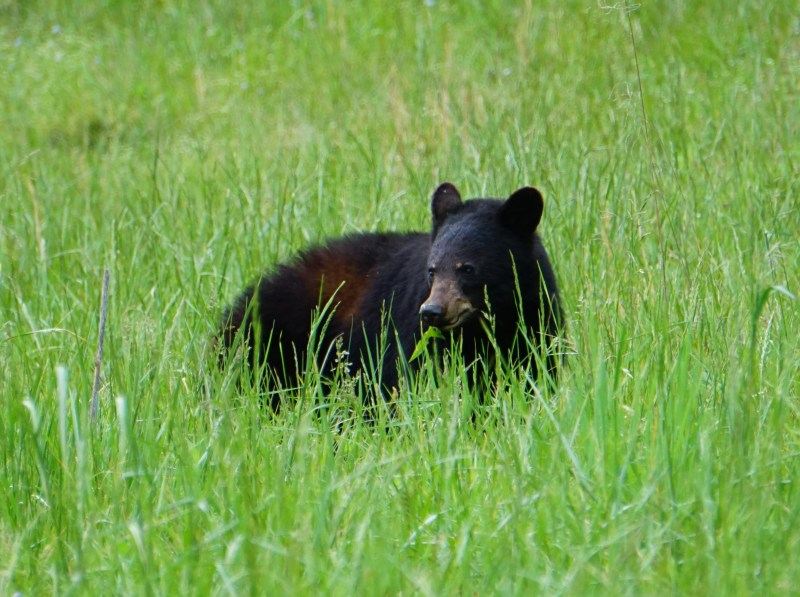 Black Bear on Cades Cove in the Great Smoky Mountains National Park, Tennessee