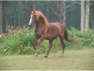 Minstrel the Horse