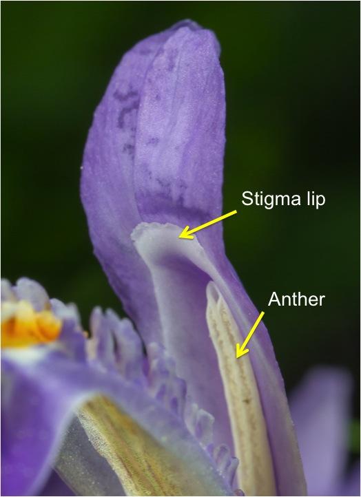 Crested Dwarf Iris  Roads End Naturalist