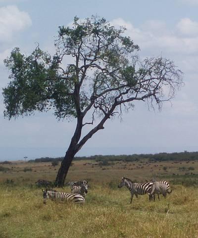 zebra-and-acacia-tree-masai-mara-kenya-by-roadsofstone