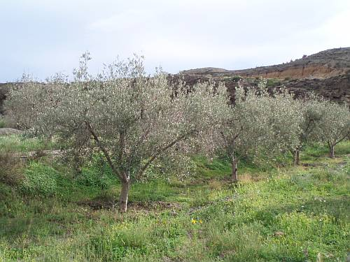 olive-grove-above-pechina-almeria-spain-by-roadsofstone