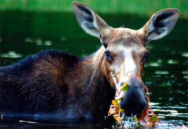 Moose in Algonquin Provincial Park, Ontario, Canada