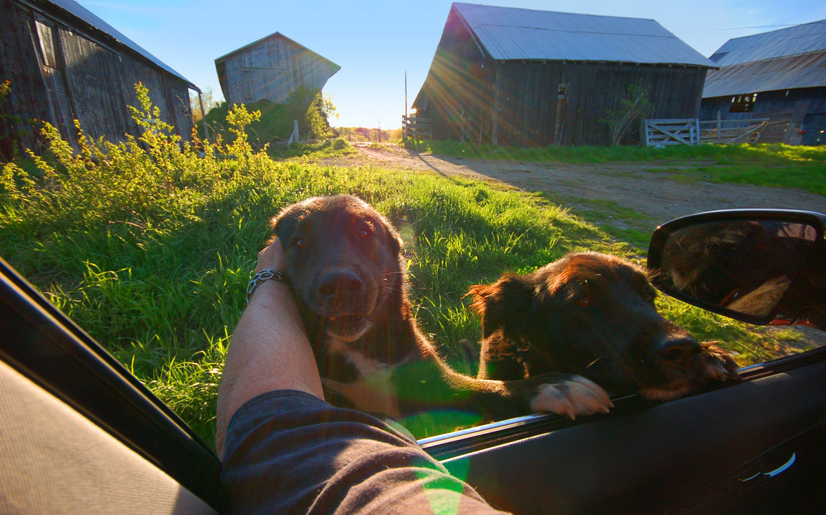 dogs and barns