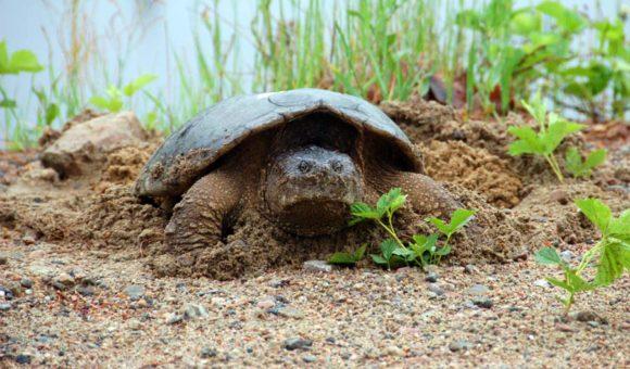 Algonquin-Park-turtle