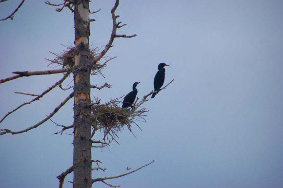 Algonquin-Provincial-Park-Opeongo-Lake-cormorants-2