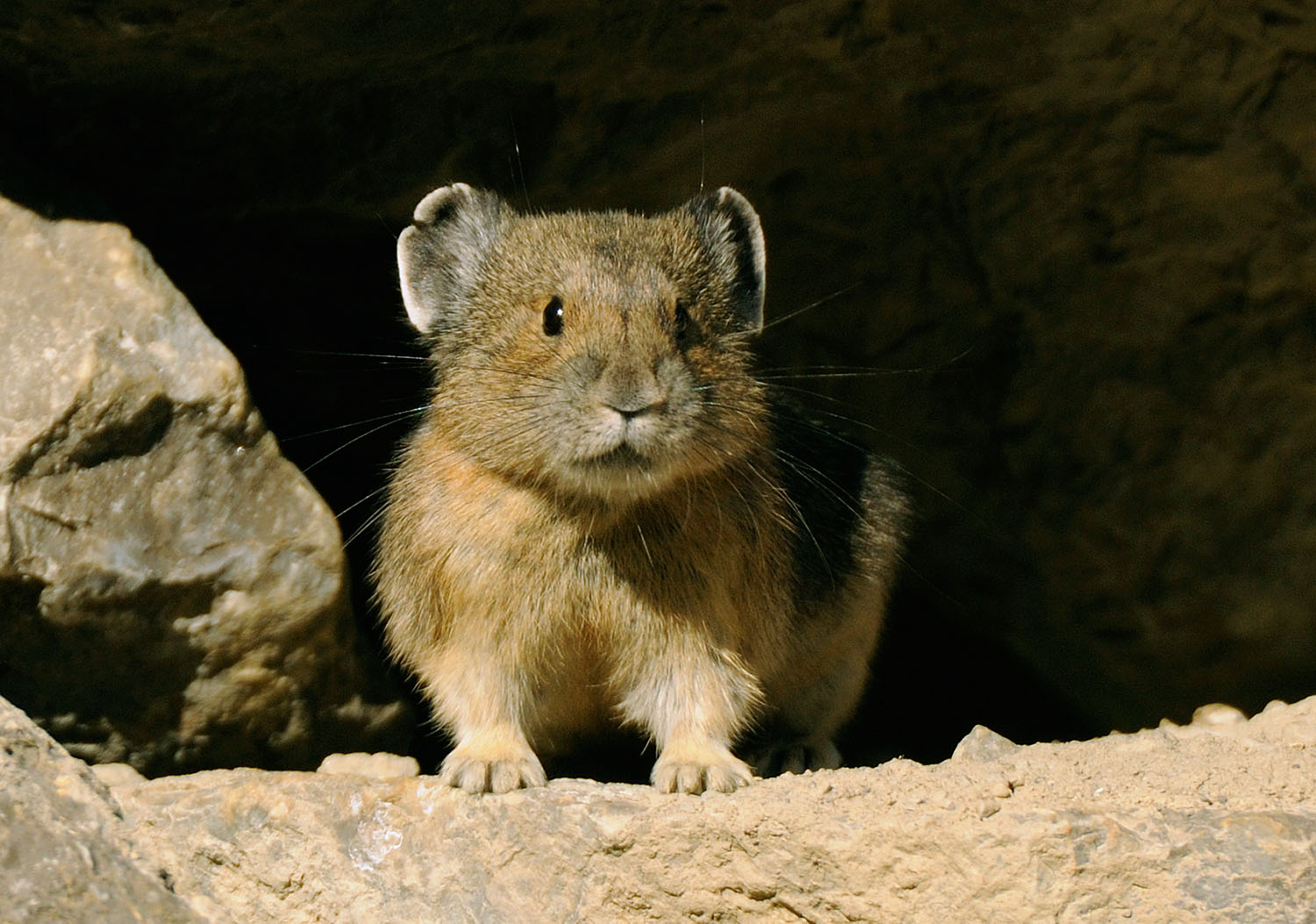 Pika in Jasper National Park, Canada
