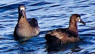 In search of albatross
