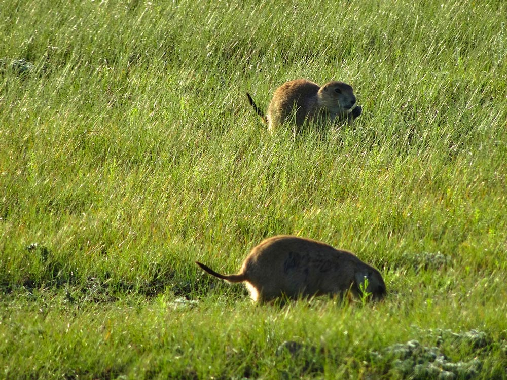 Prairie dogs in Grasslands National Park.
