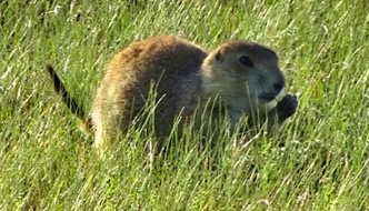 Prairie dog science in Grasslands National Park